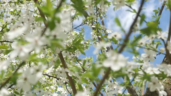 Thumbnail for Beautiful White Sakura Flowers And Fast Clouds