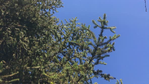 Thumbnail for Fresh green firs branches against blue sky 4K 2160p 30fps UltraHD footage - Beautiful Abies tree on