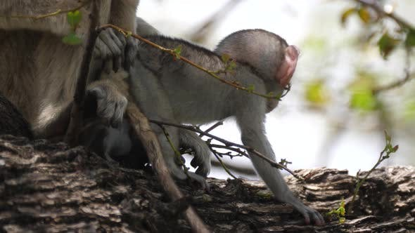 Baby vervet monkey looking in to the camera