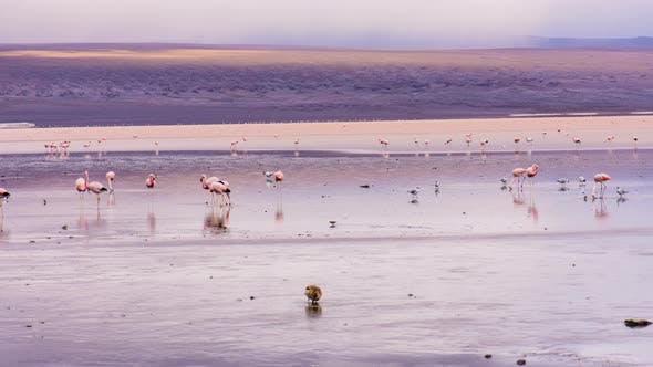 Flamingos on Laguna Colorada in Bolivia