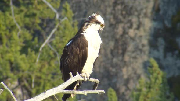 Osprey Adult Lone Perched in Spring in Yellowstone National Park Wyoming