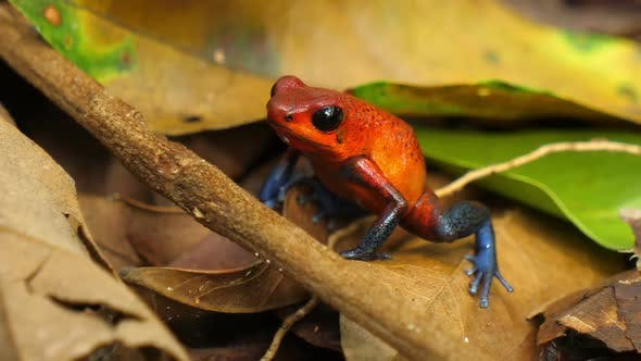 Blue Jeans Poison Dart Frog in its Natural Habitat in the Caribbean