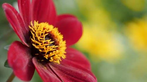 Dahlia red flower in the garden on wind  4K 2160p UltraHD footage - Beautiful Dahlia Bishop of Auckl