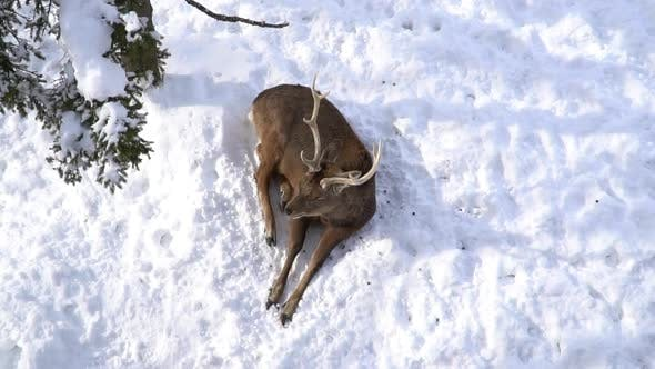 Close Up Of Deer Lying On Snow