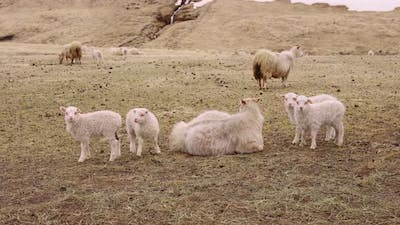 Sheep and Lambs at the Brown Ground and a Foot of Mountain Landscape