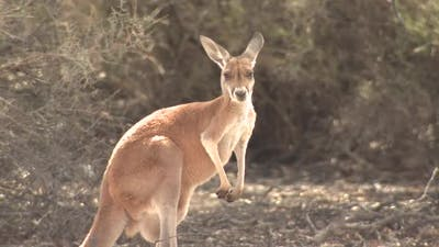 Red Kangaroo Female Adult Lone Alarmed Nervous Wary in New South Wales