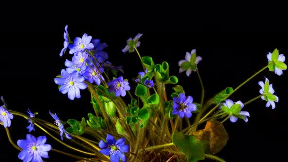 Thumbnail for Hepatica Flower Blossoms