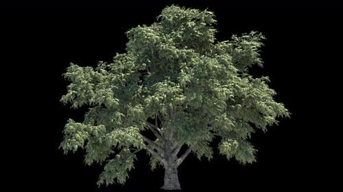 Tree Growth Animation With Alpha Channel