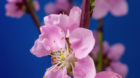 Thumbnail for Peach Blossom Timelapse 3