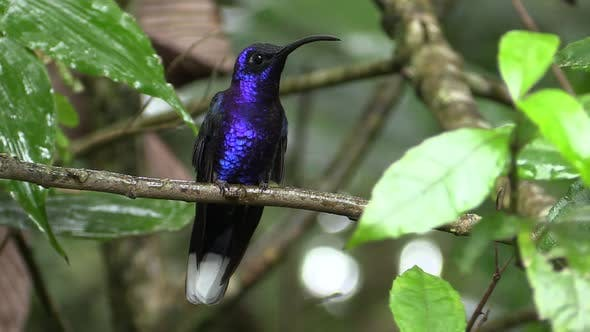 Thumbnail for Violet Sabrewing Hummingbird Male Adult Lone in Costa Rica