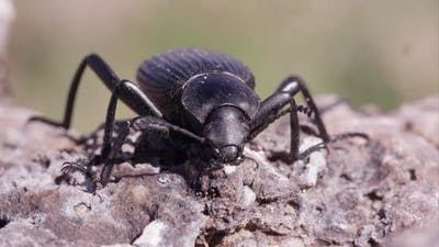 Macro shot of a black ground beetle on the ground.