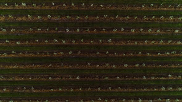 Thumbnail for Aerial View Of The Garden Of Blooming Fruit Trees.