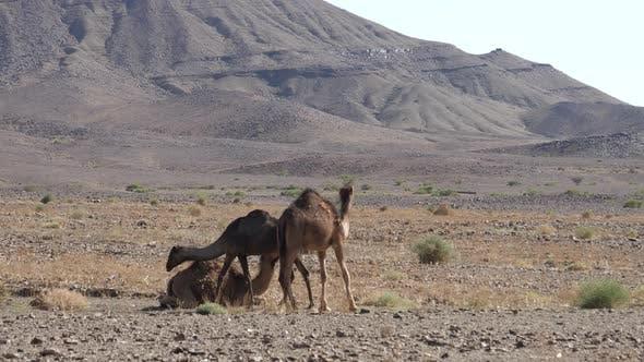 Herd of Dromedary Camels in The Sahara Desert