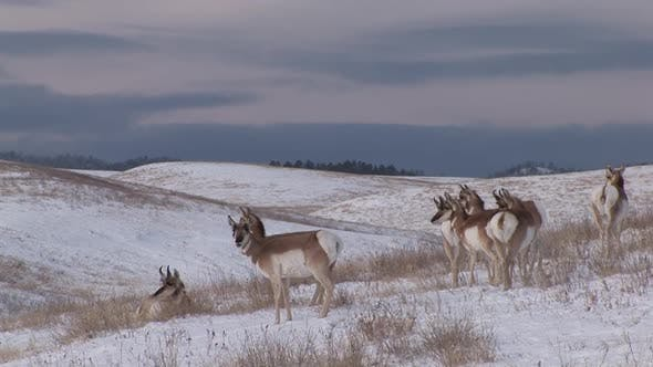 Thumbnail for Pronghorn Antelope Buck Doe Adult Fawn Kid Young Herd Many Standing in Winter