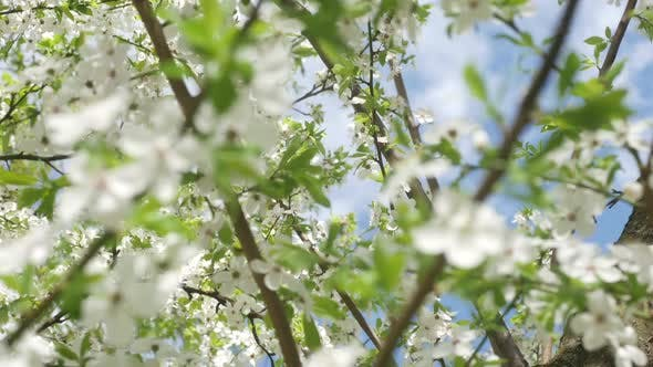 Flowers Of White Cherry Blossoms And Fast Clouds