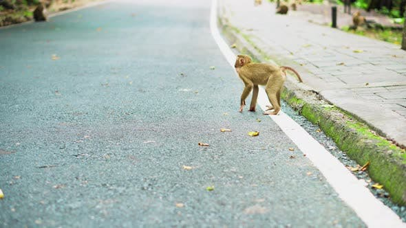 Thumbnail for Monkeys walk along the road in Thailand. Monkey family are living
