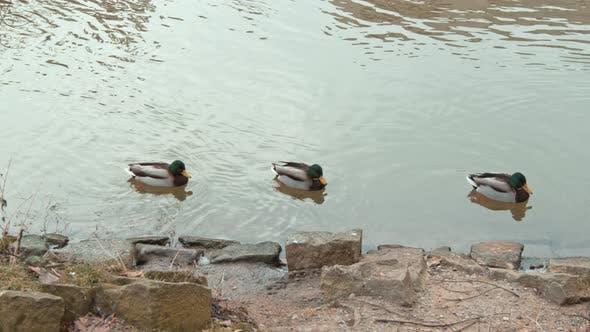 Thumbnail for Mandarin Duck Floats on Lake or River