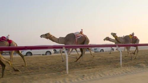Camel race in slow motion. DOHA, Qatar. Camels in desert in Middle East Arabian desert.