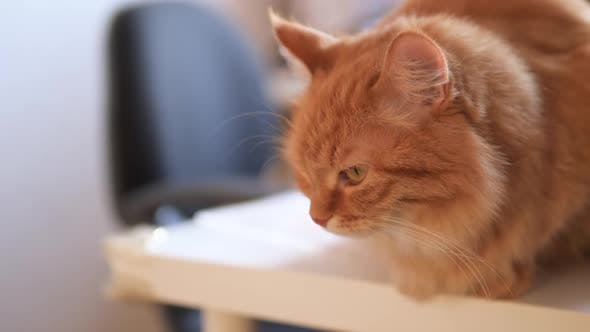 Thumbnail for Angry Ginger Cat Sits on White Table. Fluffy Pet Seems To Be Irritated. Cute Domestic Animal at Cozy