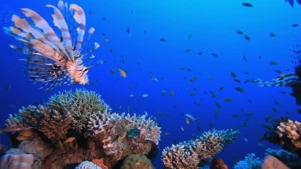 Lion-fish Grouper Fish