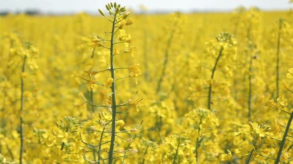 Thumbnail for Rapeseed Field Slow Motion