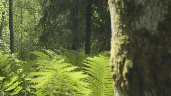 Thumbnail for Green Forest with Fern Plants