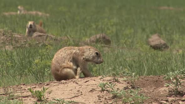 Thumbnail for Black-tailed Prairie Dog Adult Several Scratching Itching in Summer Scratching Itching