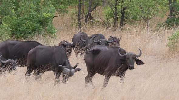 Herd of African buffalos at Bwabwata National Park