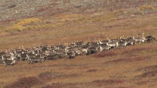 Caribou Male Female Adult Young Herd Many Running in Autumn in Alaska