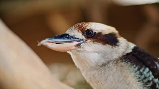 Thumbnail for Close up of laughing kookaburra sitting on a tree branch. BMPCC 4K