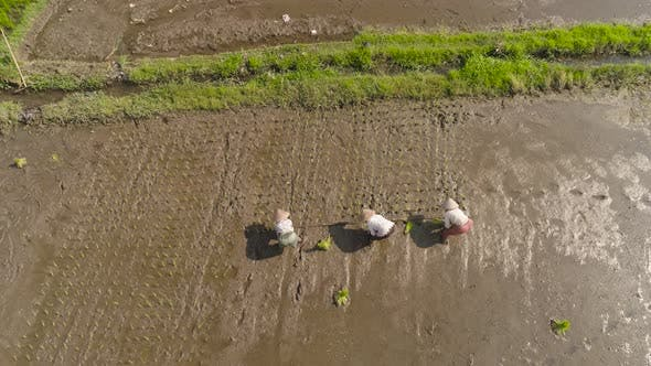 Thumbnail for Farmers Are Planting Rice