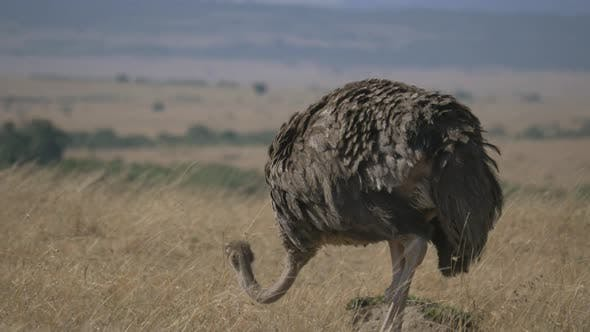 Thumbnail for Female ostrich in Masai Mara