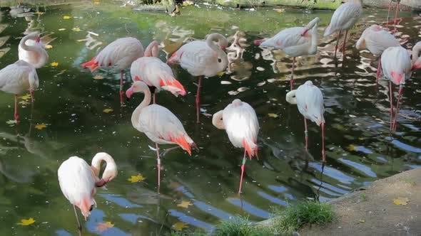 Beautiful American Flamingos (Phoenicopterus roseus)