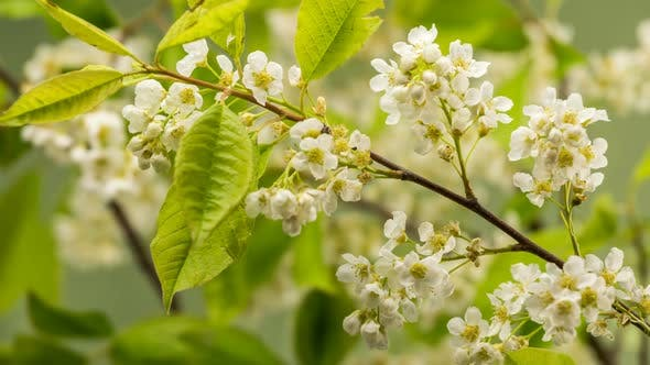 Thumbnail for White Flowers of Bird Cherry Tree (Prunus Padus) Blooming Fast in Spring