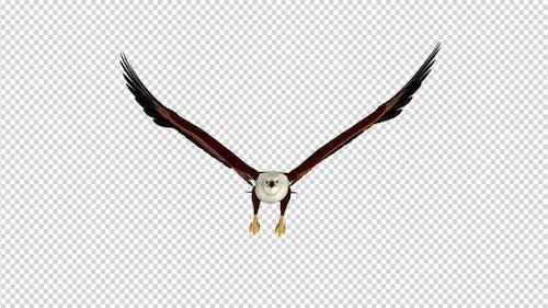 Brahminy Kite - 4K Flying Loop - Front View