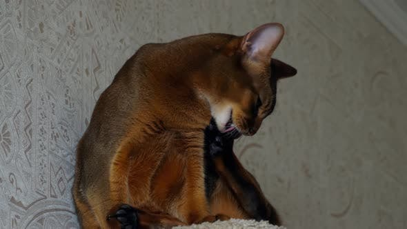 Cover Image for Abyssinian Cat Portrait