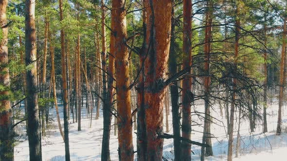 Thumbnail for Sunlit Thin Pine Tree Trunks in Snowy Coniferous Forest