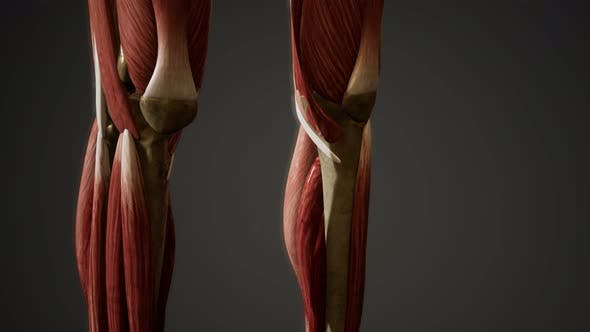 Thumbnail for Muscular System of Human Body Animation