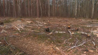 Felled Branches on the Ground Among the Stumps