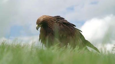 A Free Wild Golden Eagle Bird in Grass