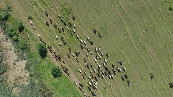 Thumbnail for Shepherd lead herd of cows in green rural fields, top view, Farming concept