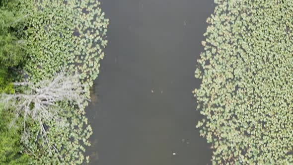 Thumbnail for River Slough Above Drone Aerial Looking Down On Lily Pads Lining The Waters Edge