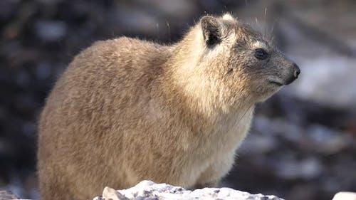 Rock hyrax reposant sur un rocher