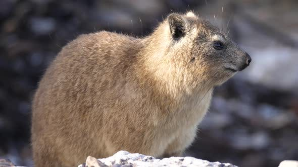Thumbnail for Rock hyrax resting on a rock