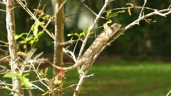 Thumbnail for Indian chameleon on a branch