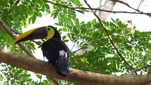 Yellow-throated Toucan on a Branch in the Rainforest