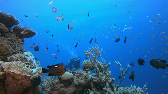 Thumbnail for Diver and Coral Reef Fish