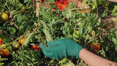 Woman in Gloves Picking Tomatoes From the Plants Closeup
