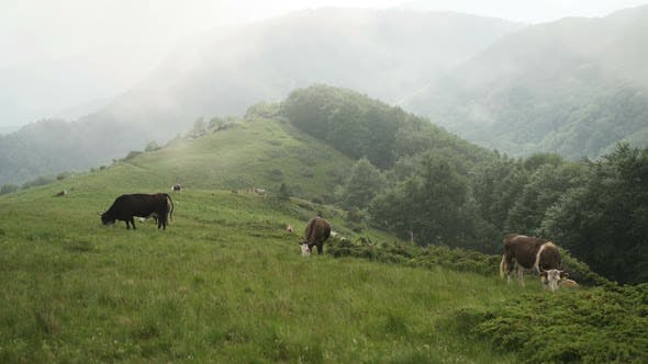 Thumbnail for Herd of Cattle Grazing on Green Mountain Pasture in A Foggy Summer Day