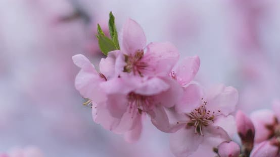 Spring blossom, peach garden, peach blossom trees. Focus play on the macro pink flower in soft light